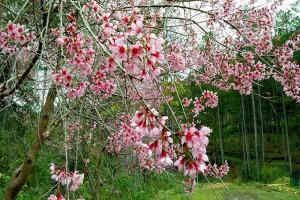 Mai Anh Đào bất ngờ nở rực hồng trên Phố núi Đà Lạt